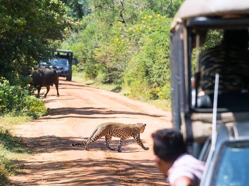 Yala National Park Leopard
