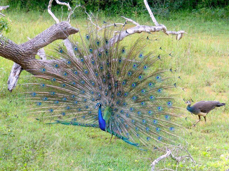 Yala National Park Peacock