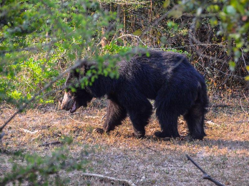 Yala National Park Sloth Bear